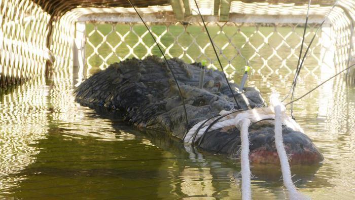 【十年追捕】澳洲600公斤巨鱷終「落網」