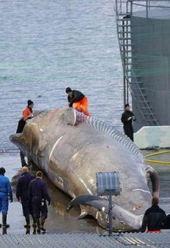 冰島疑非法捕殺藍鯨出口日本