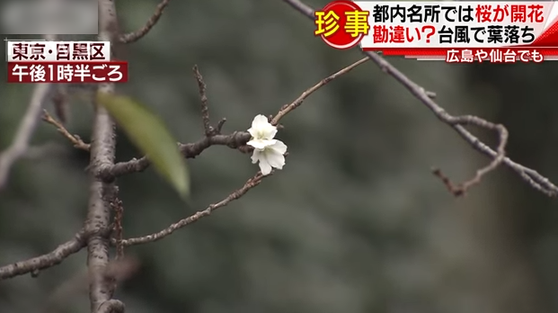 日本秋季現逾350宗櫻花綻放報告