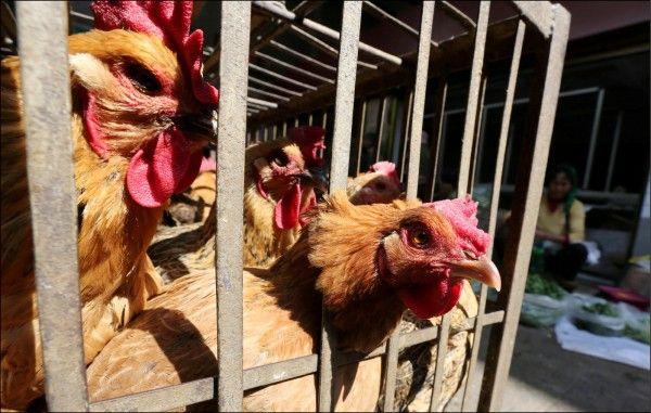 日研究首發現H7N9可飛沫傳播
