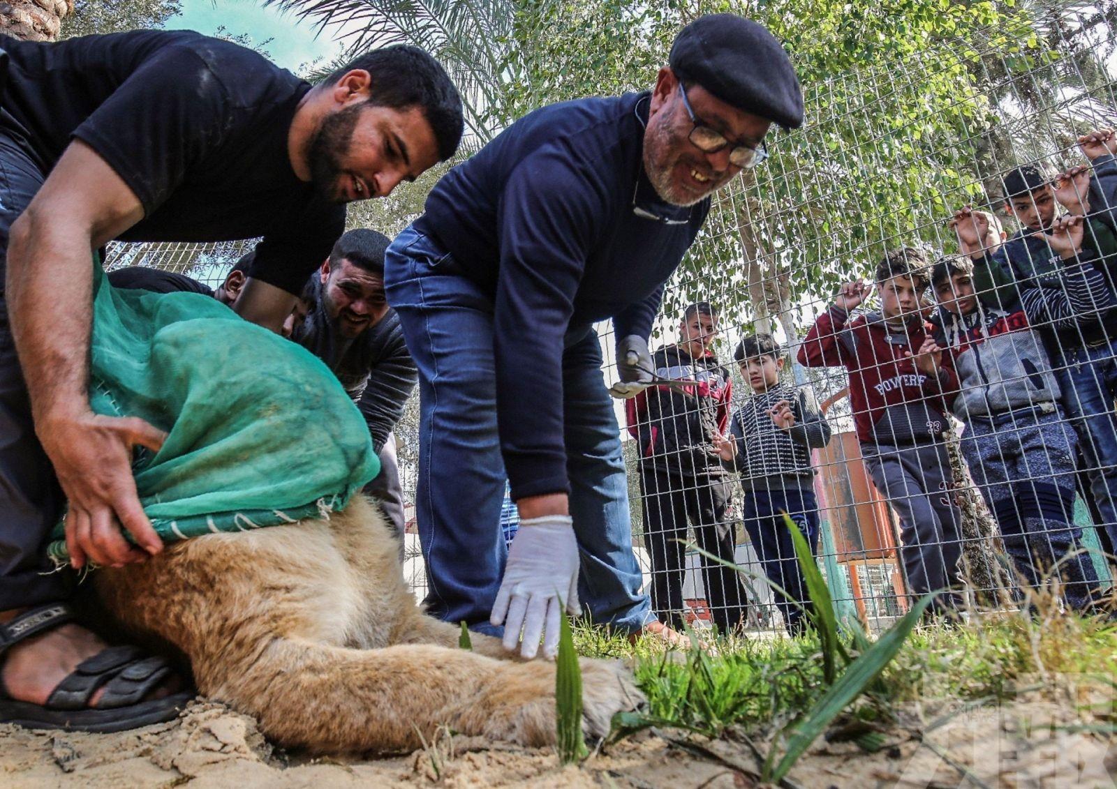 巴國動物園14個月大獅子遭截斷利爪