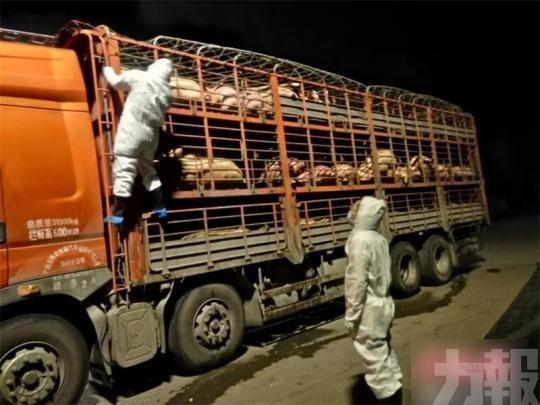 150隻豬全帶非洲豬瘟病毒