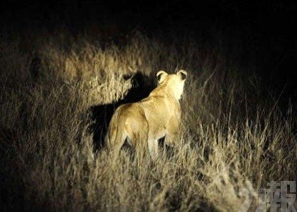 南非14隻獅子逃離野生動物保護區