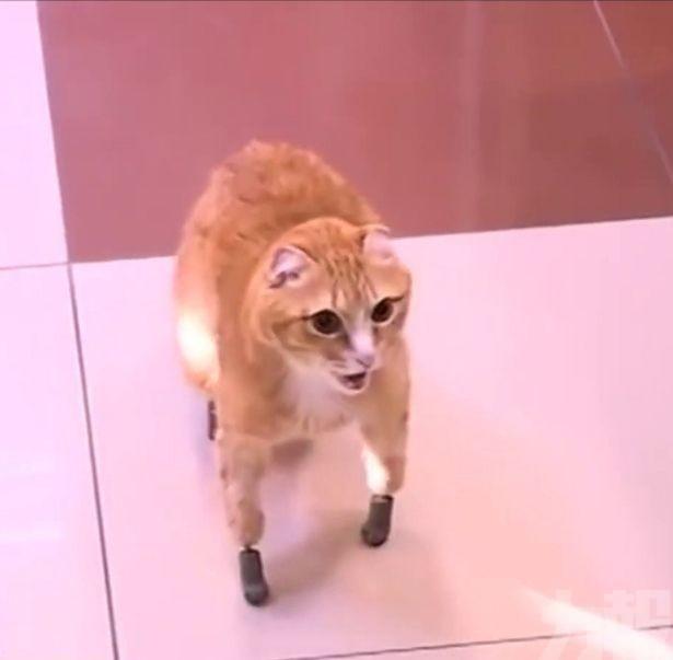 被遺棄貓貓遇有愛主人 「3D列印貓掌」重拾生命力
