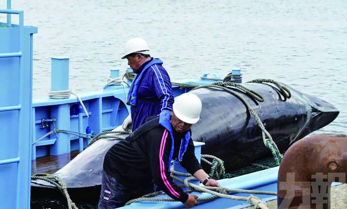 日本今重啟商業捕鯨