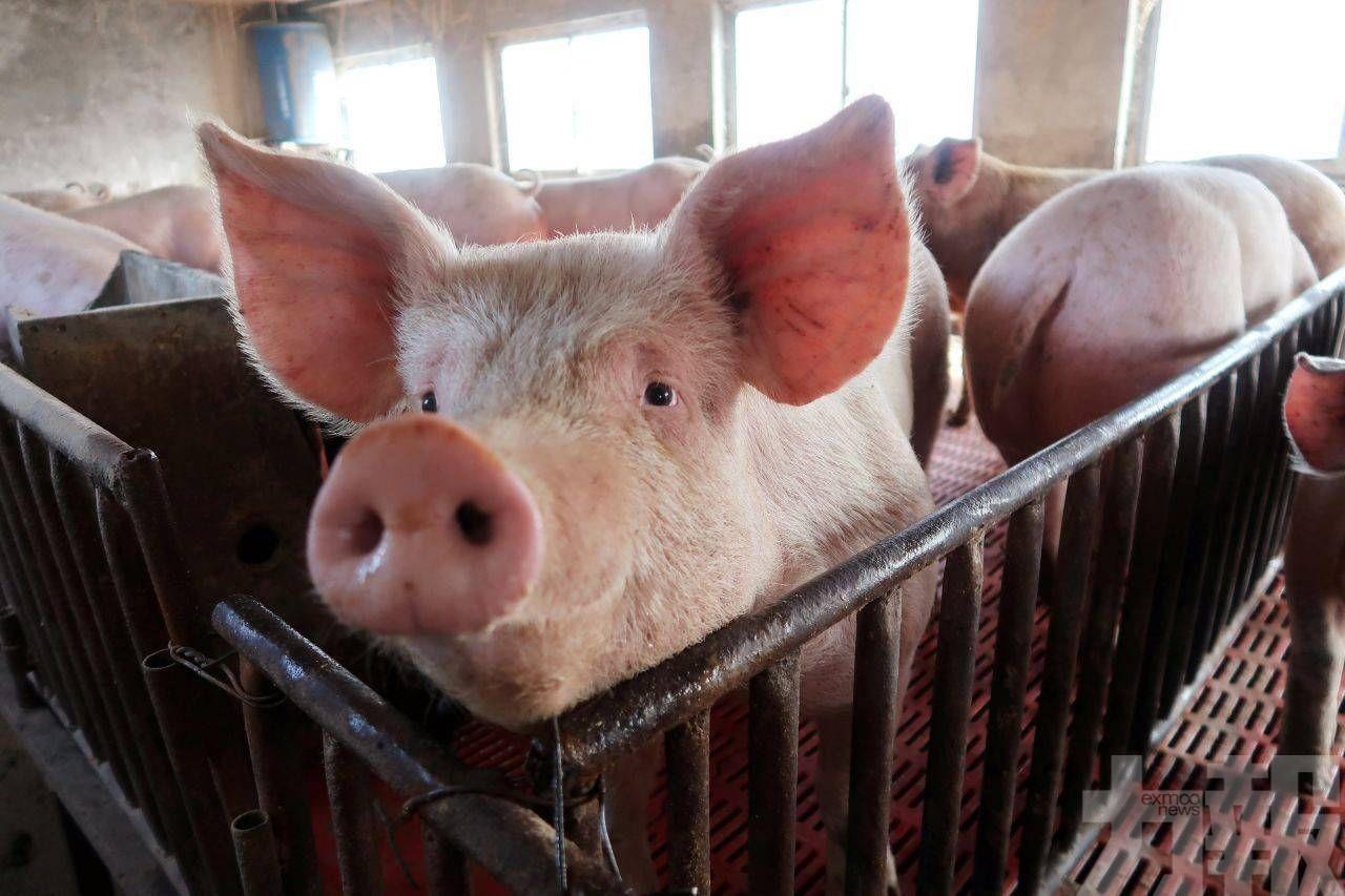 活豬批發價8月起每擔再上調260元