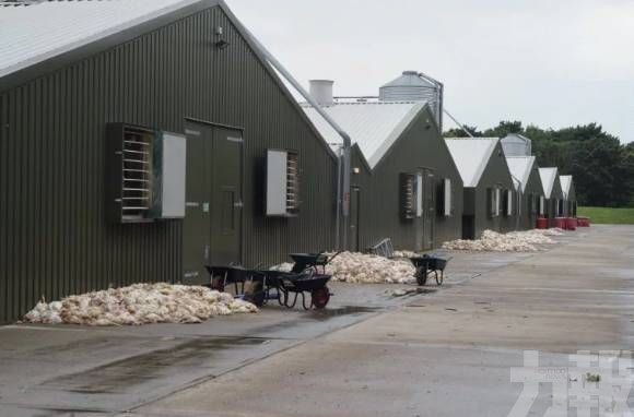 數千雞隻活活被「悶烤」致死