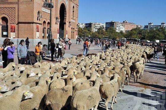 2,000隻綿羊進城 逼爆市區