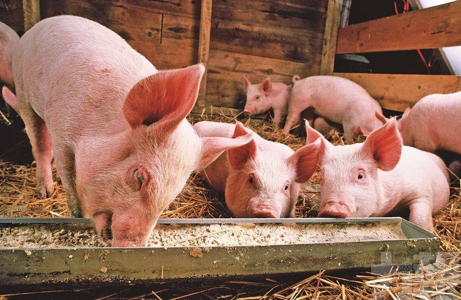供應增 豬肉股難再起飛