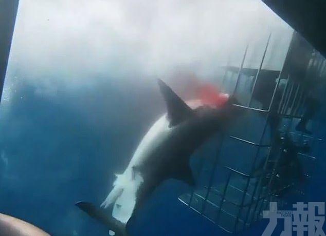 大白鯊失血過多慘死遊客面前