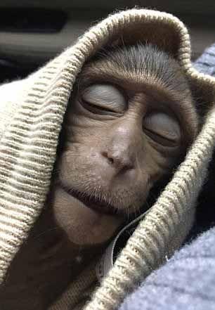 泰馬騮偷飲遊客咖啡昏迷10小時
