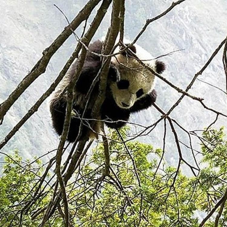 四川發現新的野生熊貓棲息地