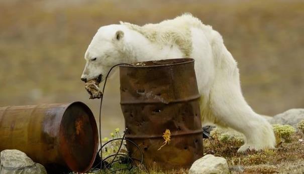 肌肉萎縮北極熊垂死覓食