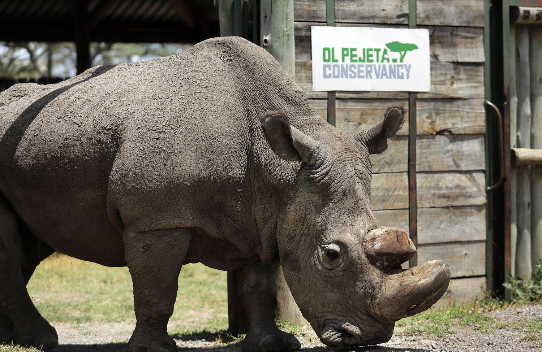 全球唯一雄性北非白犀牛逝世