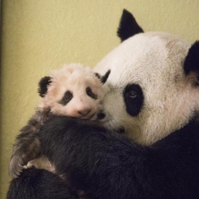 旅法熊貓「迷你圓仔」