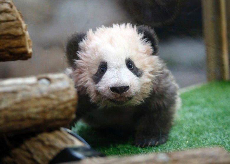 旅法熊貓寶寶首度亮相