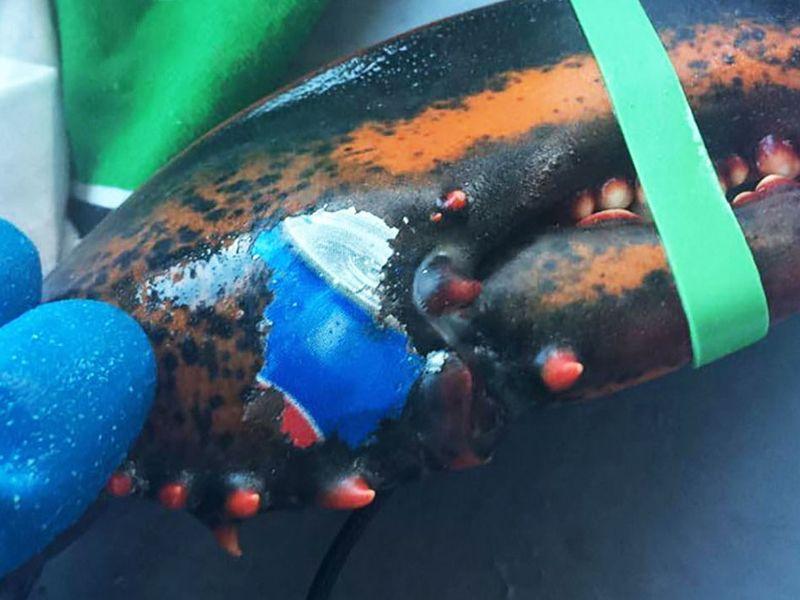 加國龍蝦鉗上離奇「被紋身」