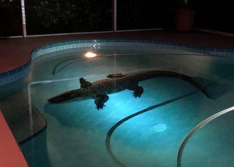 有片!11呎巨鱷夜闖豪宅泳池游水被擒