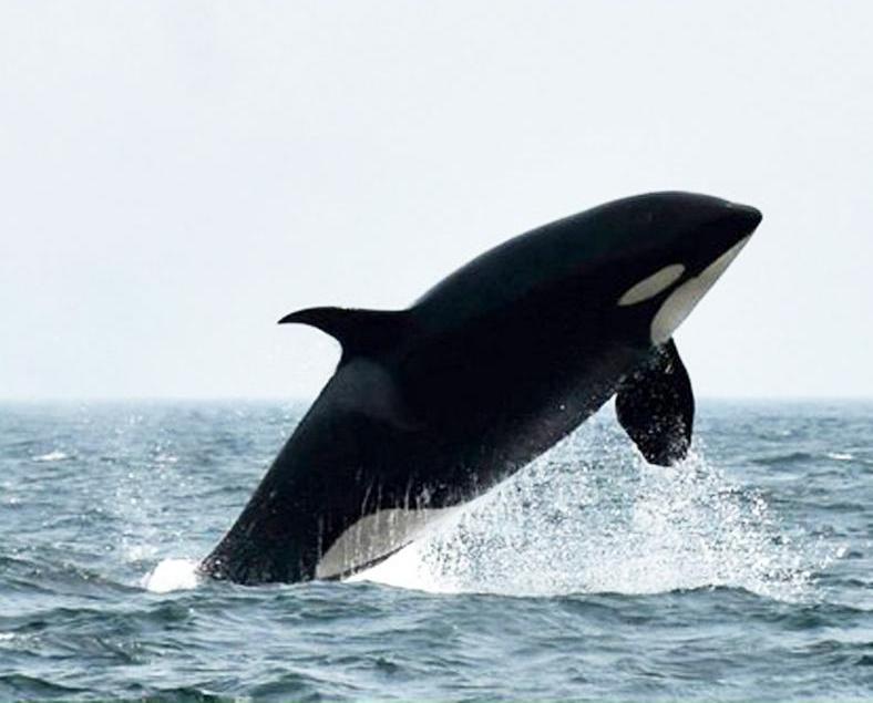 全球最老殺人鯨再現身