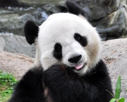 九寨溝強震 熊貓「報平安」