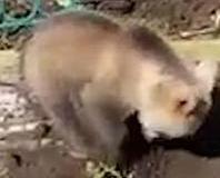 俄羅斯熊幫婦人挖土種土豆
