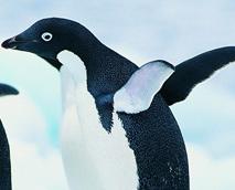 15萬小企鵝無法覓食死亡
