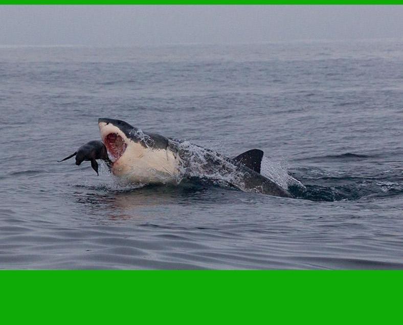 海豹鯊口逃生驚險瞬間