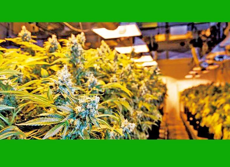 微軟進軍大麻業