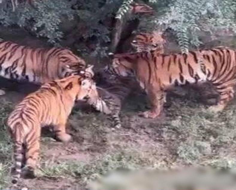 長春動物園一老虎遭八虎咬死