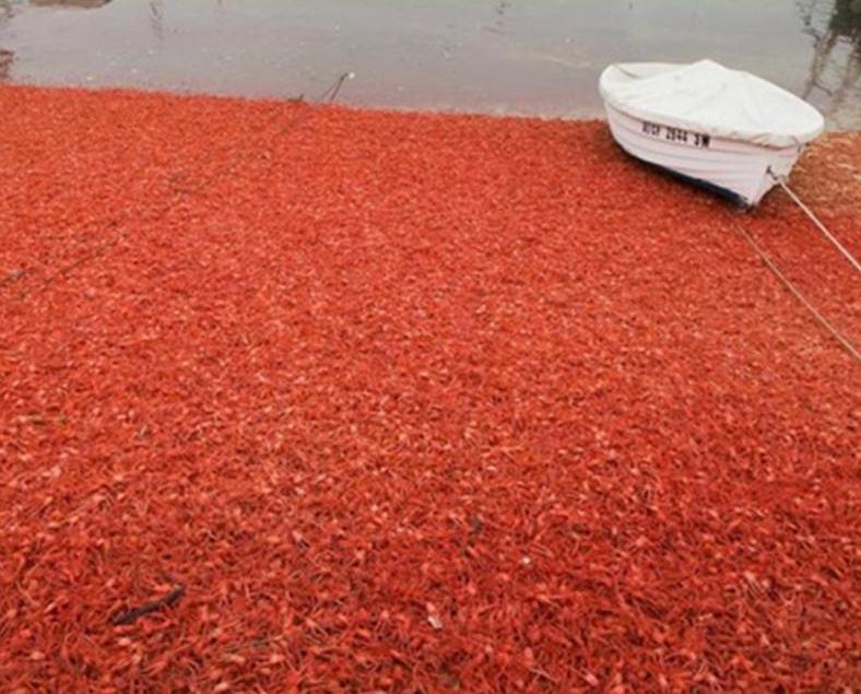 美國加州遭小龍蝦入侵