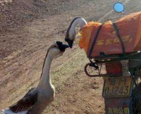 情侶鵝最終落入他人肚