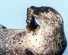 「世上最開心的海豹」