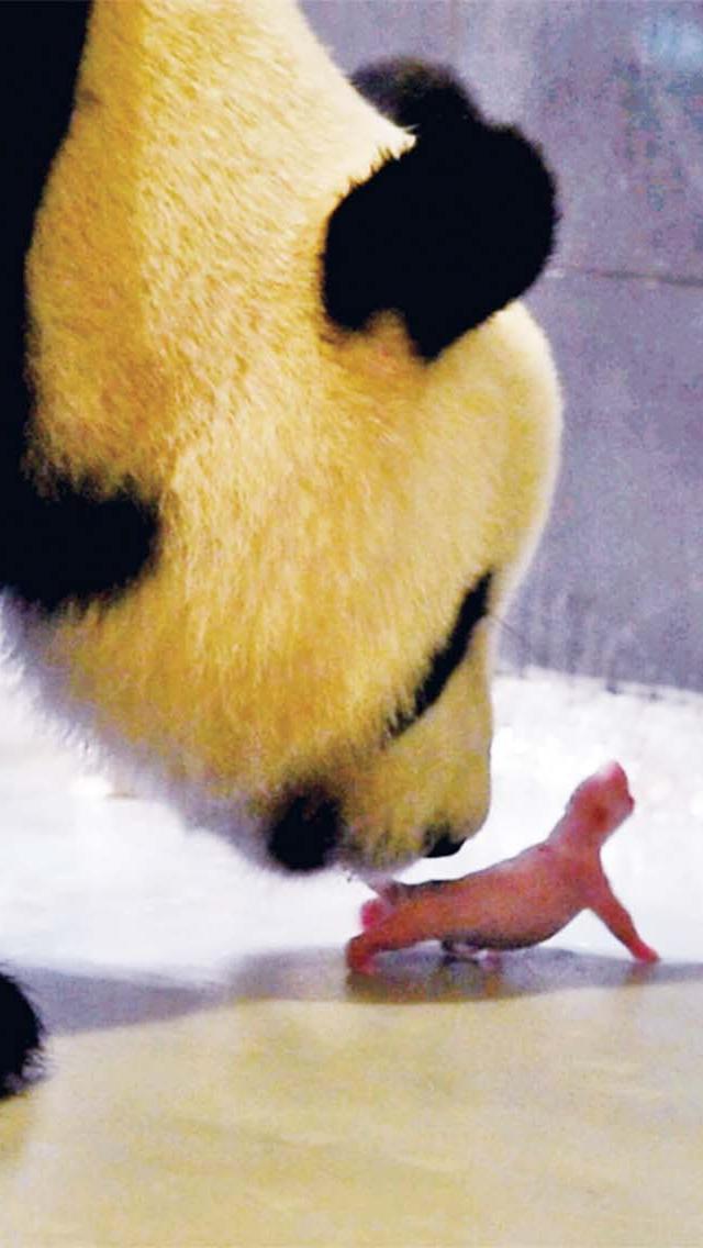 大熊貓「心心」昨產下雙胞胎