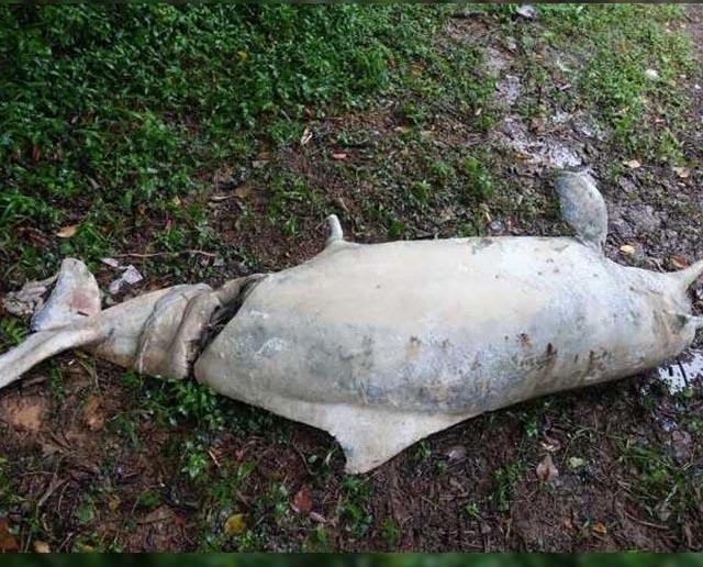 路環發現中華白海豚屍體