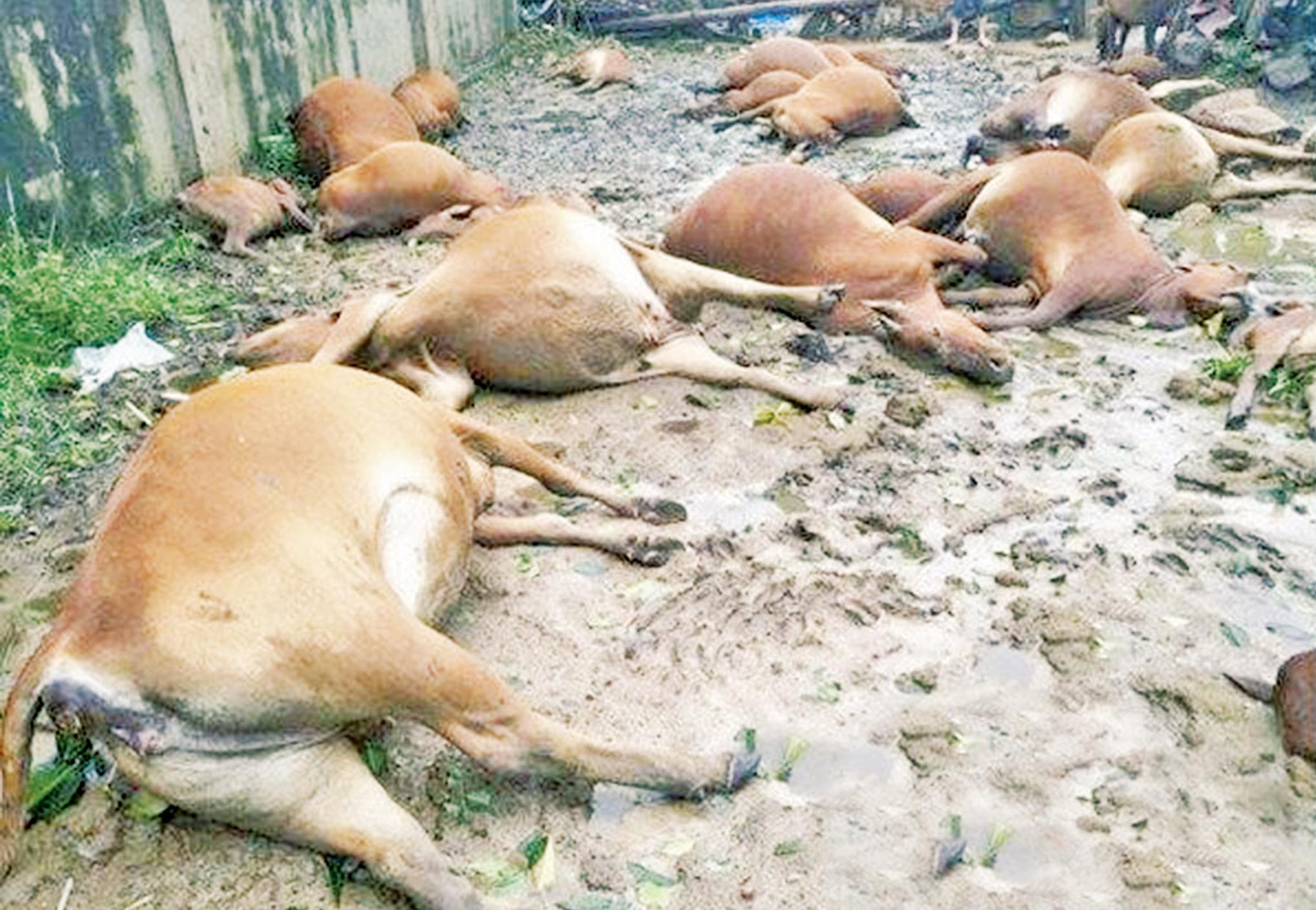 農戶31頭牛被電死