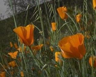 加州死亡谷沙漠野花盛放
