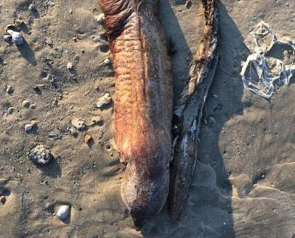 德州海灘驚現神秘生物腐屍