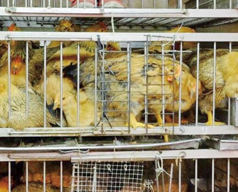 民署正探討內地鮮雞輸澳可行性