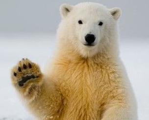 北極熊數量35年內或減三成