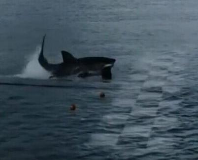 菲比斯百米泳對戰大白鯊