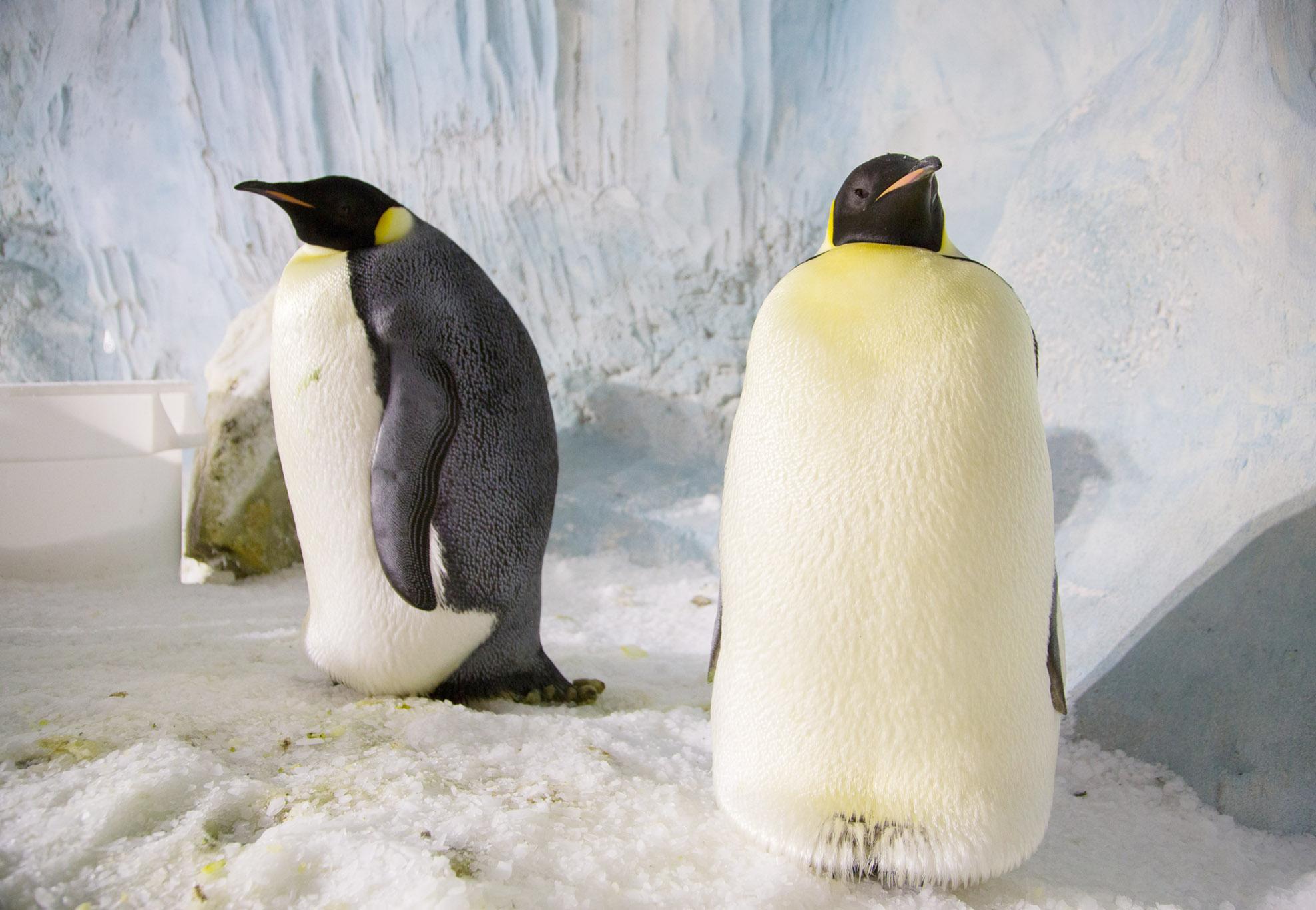 企鵝媽媽產七蛋