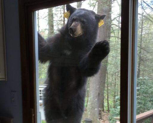 黑熊:我又要食!