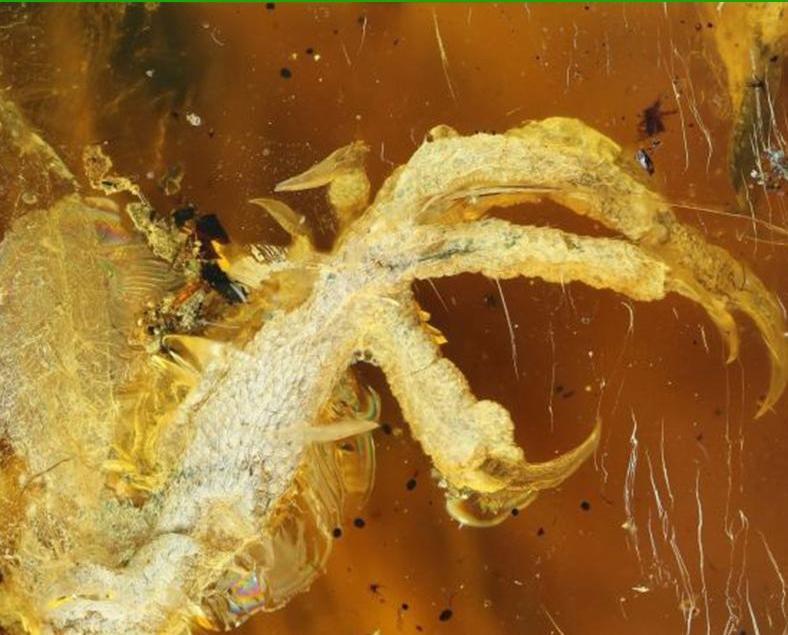 琥珀化石內首現恐龍時期古鳥類