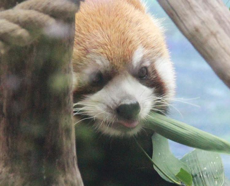 小熊貓烙烙、燑燑同大家見面喇