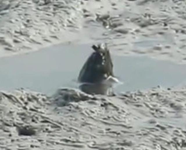澳洲泥灘冒岀現神秘「怪物」