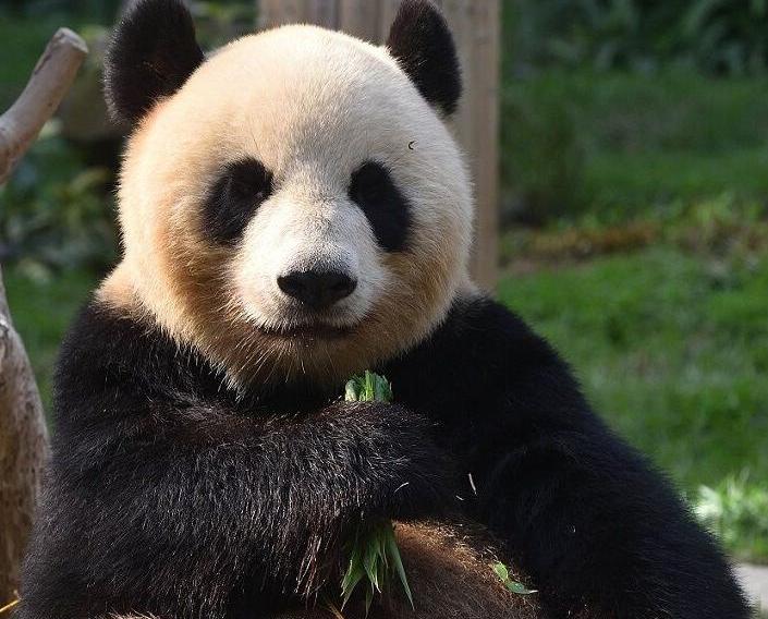 大熊貓「心心」慶祝十歲生日