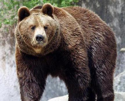 棕熊拍碎籠舍鋼化玻璃牆險逃出