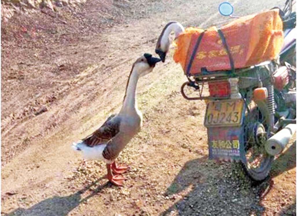 母鵝送人 公鵝落肚