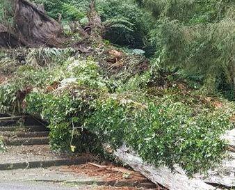 台2,800年神木倒塌遊客被壓傷