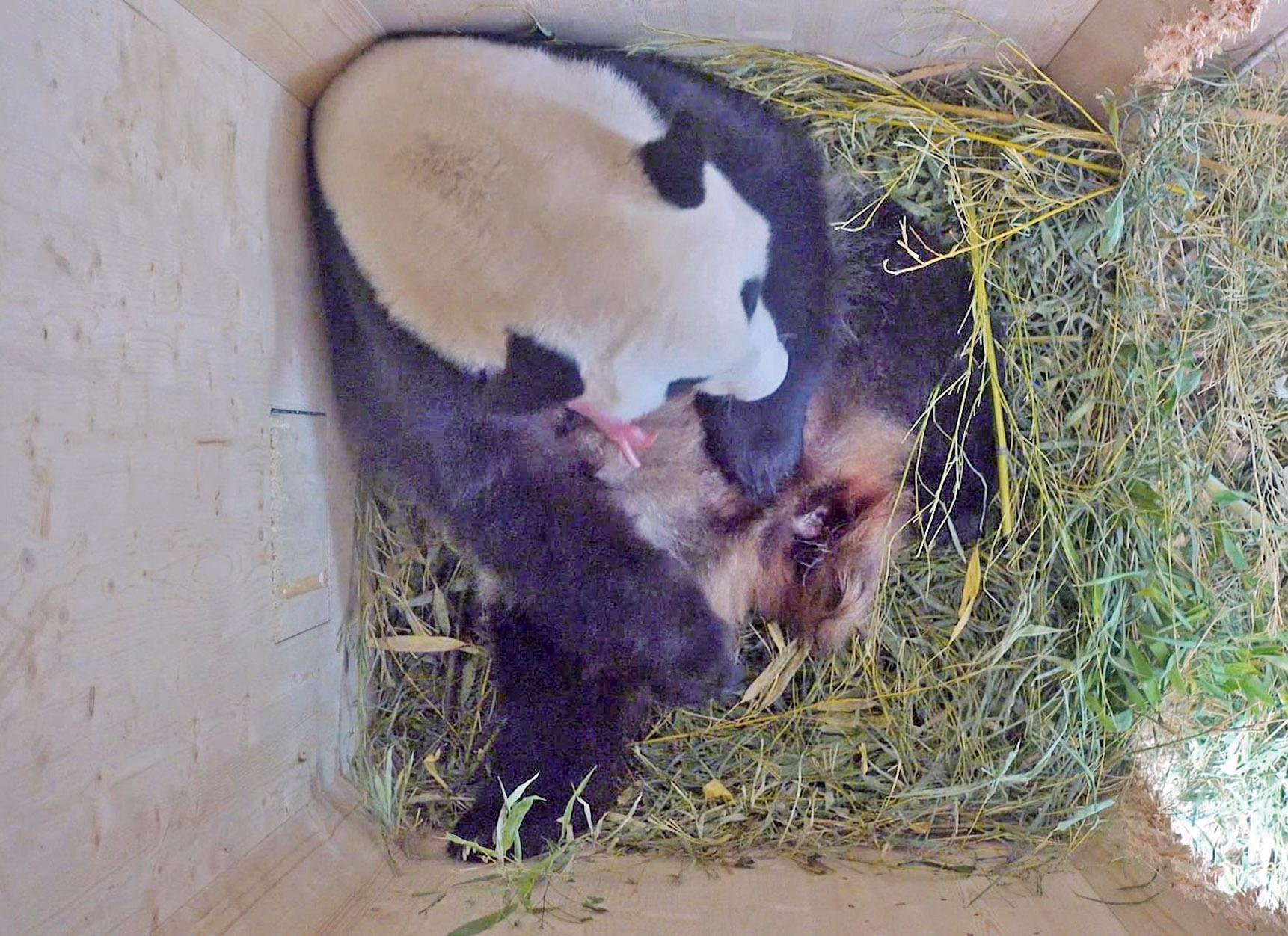 大熊貓產第四胎